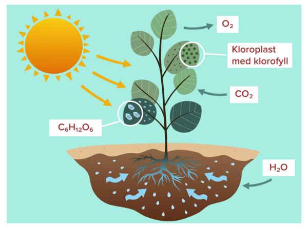 Fotosyntes SE1  1
